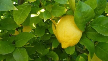 limone_